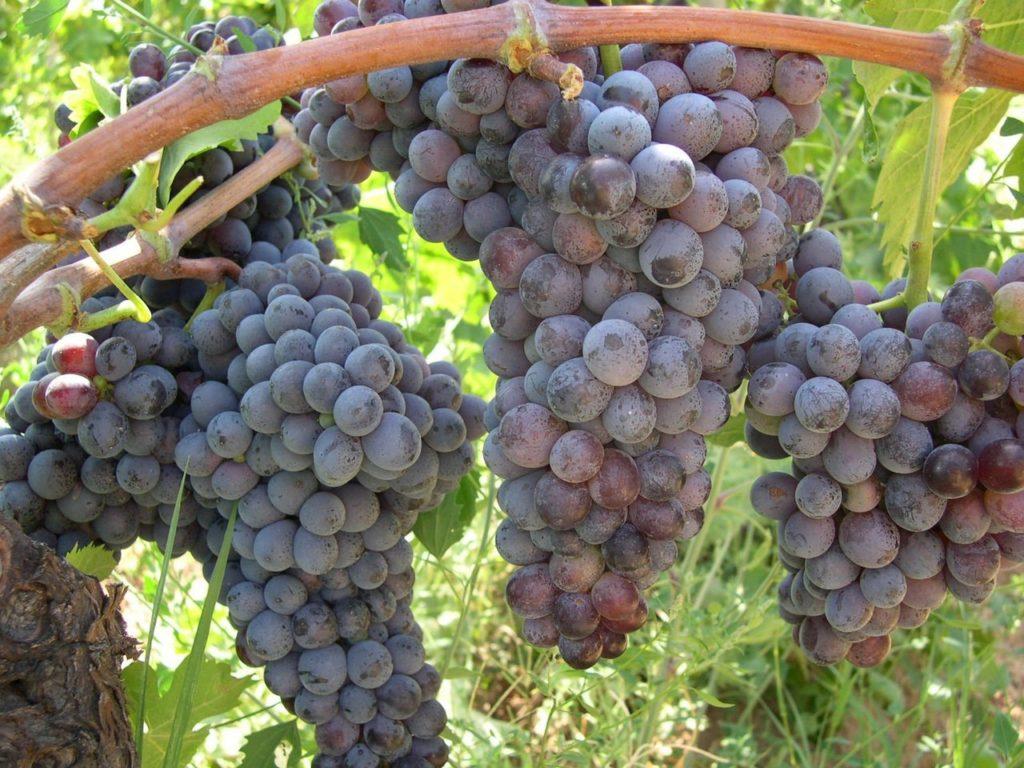 Uva vino Gaglioppo di Cirò