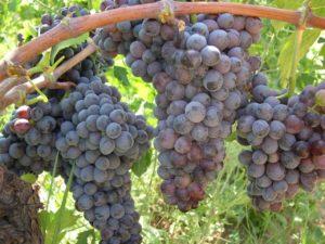 Una vino Gaglioppo di Cirò