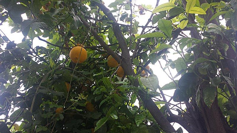 Il Bergamotto: medicina naturale per la nostra salute