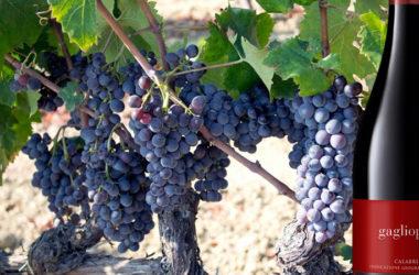 Il vino Gaglioppo calabrese: un antidepressivo e aiuta a combattere il Parkinson
